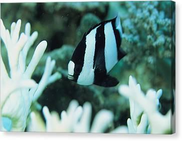 A Humbug Dascyllus Fish Swims Canvas Print by Tim Laman