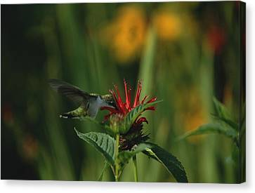 A Hummingbird At A Canvas Print by Taylor S. Kennedy