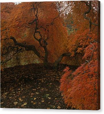 A Japanese Maple In Fall Foliage Canvas Print
