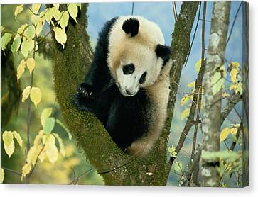 A Juvenile Giant Panda Canvas Print by Lu Zhi