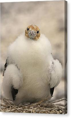 A Juvenile Great Frigatebird, Fregata Canvas Print by Ralph Lee Hopkins