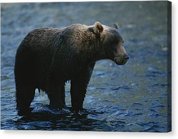 A Kodiak Brown Bear Hunts For Fish Canvas Print