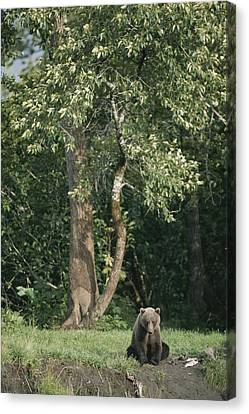 A Kodiak Brown Bear On The Bank Canvas Print by George F. Mobley