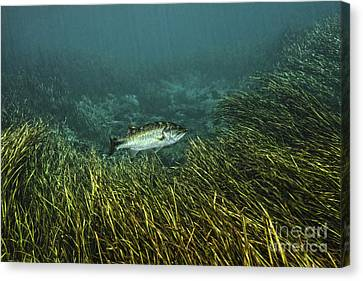 Dunnellon Canvas Print - A Largemouth Bass Swims Amonst by Terry Moore