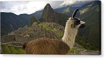A Llama And Reconstructed Stone Canvas Print by Michael Melford