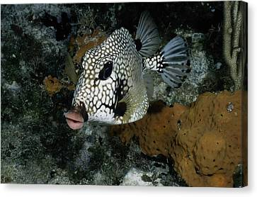 A Lone Smooth Trunkfish Lactophrys Canvas Print by Wolcott Henry