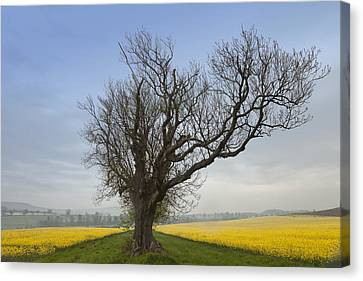 A Lone Tree On The Edge Of A Yellow Canvas Print by John Short