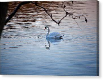 A Lonely Swans Late Afternoon Canvas Print by Karol Livote