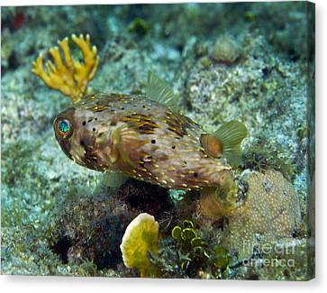 A Long-spined Porcupinefish, Key Largo Canvas Print by Terry Moore
