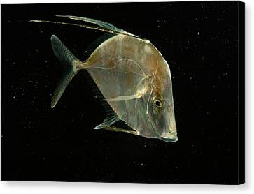 A Lookdown Fish Selene Sp Canvas Print by George Grall