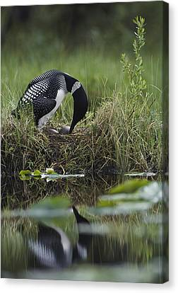 A Loon Raises Itself To Turn Its Eggs Canvas Print by Michael S. Quinton