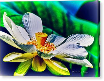 Canvas Print featuring the photograph A Lotus Brightly by Travis Burgess