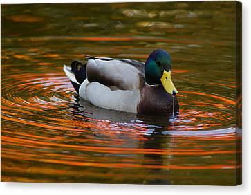 A Male Mallard Duck Drinking.  Fall Canvas Print by Darlyne A. Murawski