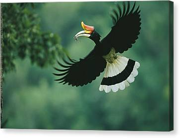 A Male Rhinoceros Hornbill Delivers Canvas Print by Tim Laman