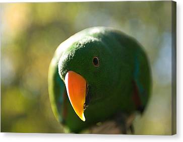 A Male Solomon Island Eclectus Parrot Canvas Print by Joel Sartore