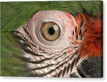A Military Macaw Ara Ambiguus Canvas Print by Joel Sartore
