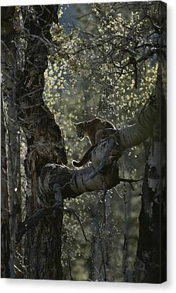 A Mountain Lion, Felis Concolor, Climbs Canvas Print by Jim And Jamie Dutcher