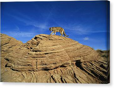 A Mountain Lions Walks Across This Canvas Print by Norbert Rosing