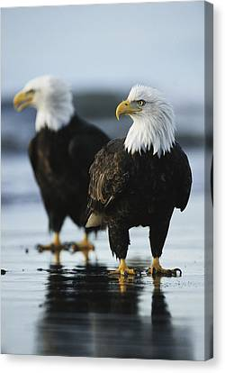 A Pair Of American Bald Eagles Stand Canvas Print by Klaus Nigge