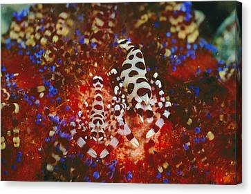 A Pair Of Colemans Shrimp Residing Canvas Print by Wolcott Henry