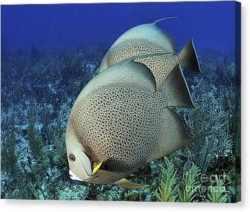 A Pair Of Gray Angelfish On A Caribbean Canvas Print by Karen Doody