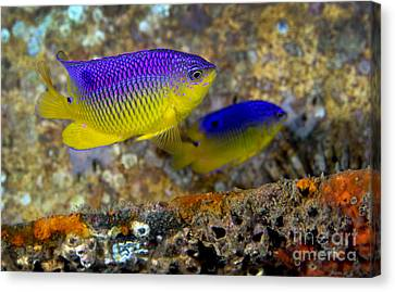 A Pair Of Juvenile Cocoa Damselfish Canvas Print by Michael Wood