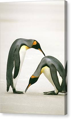 A Pair Of King Penguins In A Courtship Canvas Print by Ralph Lee Hopkins