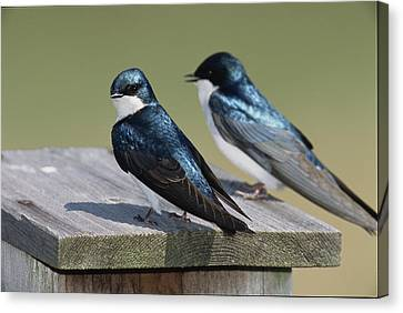 A Pair Of Tree Swallows, Tachycineta Canvas Print