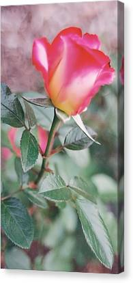 Canvas Print featuring the photograph A Perfect Rose by Lynnette Johns