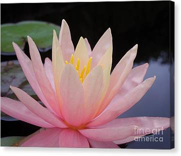 A Pink Water Lily Canvas Print by Chad and Stacey Hall