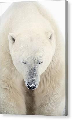 A Polar Bear Ursus Maritimus Resting Canvas Print by Richard Wear