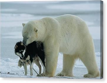 A Polar Bear Ursus Maritimus Snuggles Canvas Print by Norbert Rosing