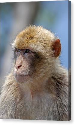 A Portait Of A Monkey In Gibraltar Canvas Print by Perry Van Munster