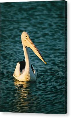 A Portrait Of A Pelican Swimming Canvas Print by Bill Ellzey