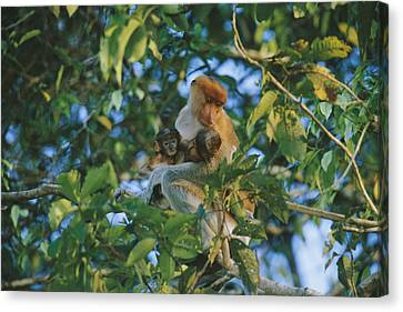 A Proboscis Monkey With Her Twin Canvas Print