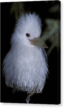 A Rare Albino Kookaburra With White Canvas Print by Jason Edwards