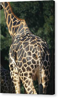 A Rear View Of A Rothschild Giraffe Canvas Print by Nick Caloyianis