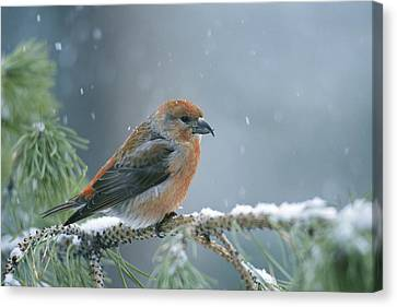 A Red Crossbill Loxia Curvirostra Canvas Print by Michael S. Quinton