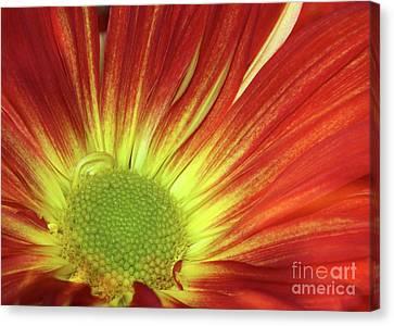 A Red Daisy Canvas Print by Sabrina L Ryan