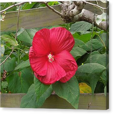 A Red Hibiscus Canvas Print by Chad and Stacey Hall