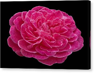 A Red Rose For You Canvas Print by Dennis Dugan