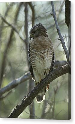 A Red Shouldered Hawk Perches In A Tree Canvas Print by Klaus Nigge