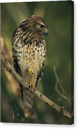 A Red Shouldered Hawk Perches On A Tree Canvas Print by Klaus Nigge