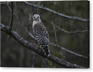 A Red-shouldered Hawk Sits On A Tree Canvas Print by Bates Littlehales