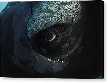 A Right Whales Eye Covered With Tiny Canvas Print by Brian J. Skerry