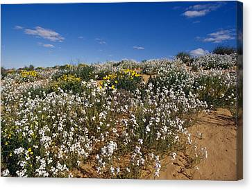 A Riot Of Wild Stock Flowers And Annual Canvas Print