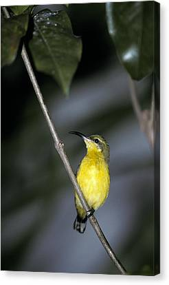 A Roosting Female Yellow-bellied Canvas Print by Jason Edwards