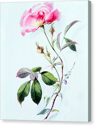 A Rose Canvas Print by James Holland