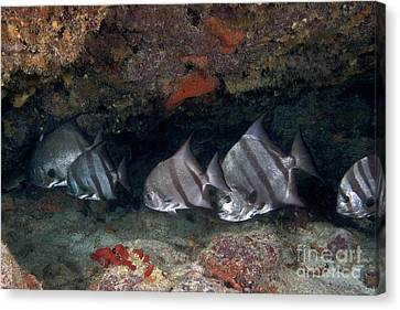 A School Of Atlantic Spadefish Canvas Print by Terry Moore