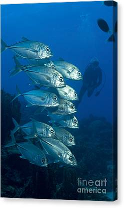A School Of Bigeye Trevally, Papua New Canvas Print by Steve Jones